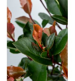 Photinia Little Red Robin blad